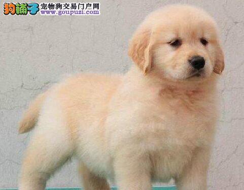 忠诚服从大头宽嘴的桂林金毛犬 保证健康纯种