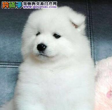 纯种萨摩耶 萨摩幼犬多只出售 欢迎选购