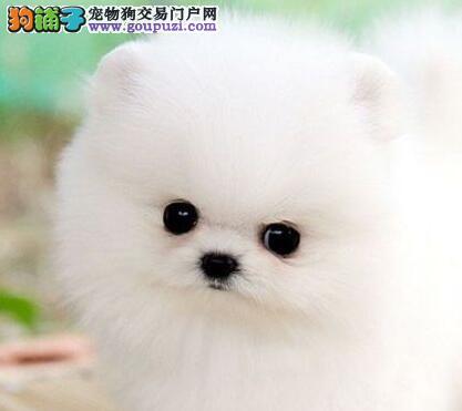 出售多种颜色巴音郭楞纯种博美犬幼犬微信看狗真实照片包纯
