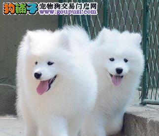 双眼皮微笑天使萨摩耶温州热销 签协议送狗用品哦