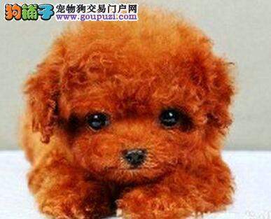 国际注册犬舍 出售极品赛级泰迪犬幼犬CKU认证绝对信誉保障