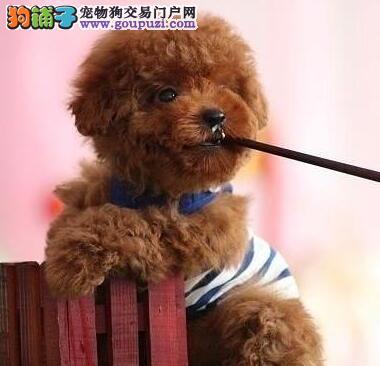 玩具茶杯血系的南昌贵宾犬找爸爸妈妈 公母都有包健康