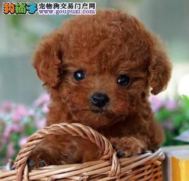 茶杯玩具品相的太原贵宾犬找新主人 多只幼犬供选择