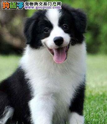 北京边境牧羊犬毛色好品相好 犬舍直销价格更优惠