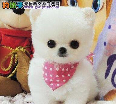低价直销绝顶优秀北京博美犬 做好驱虫有血统证明