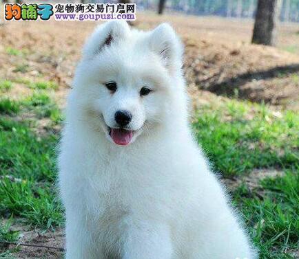 专业繁殖杭州萨摩耶幼犬已做疫苗身体健康