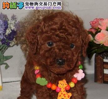 高品质贵宾犬幼犬、保证品质一流、等您接它回家
