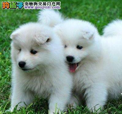 转让精品微笑天使萨摩耶 西安正规犬舍专业繁殖