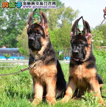 锤系黑背的兰州德国牧羊犬特价优惠出售 高品质低价位
