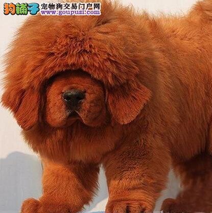 广州藏獒价钱多少 广州哪里有卖藏獒