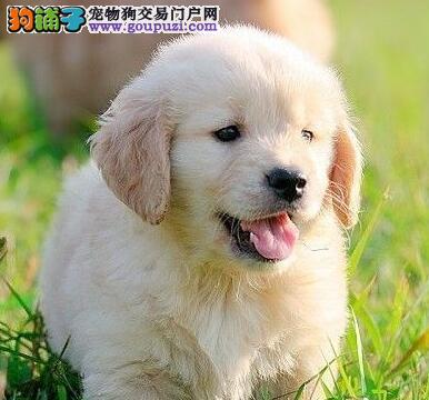 赛级血统金毛幼犬 品质保证 超低价格