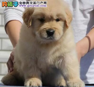 纯种大头成都金毛犬幼犬出售已做疫苗和驱虫