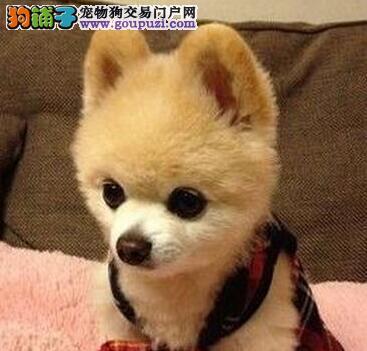 热销正规狗场繁殖的南宁博美犬 100%纯种健康有保障