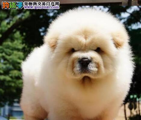 转让爆毛量大头版的台州松狮犬 品相极佳血统纯正