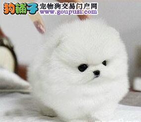 出售纯种球体形遵义博美幼犬品相极佳