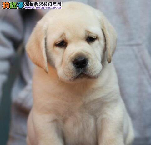 出售极品冠军级拉登血系拉布拉多犬 天津周边免邮费