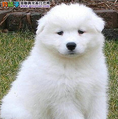重庆犬舍直销纯正奥版血统萨摩耶犬 明码实价 品质保证