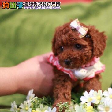 自家犬舍繁殖出售包头泰迪犬 可签定售后保证协议书
