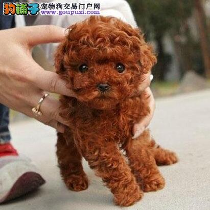 销售西安家养繁殖茶杯玩具贵宾犬 超级可爱韩国血统