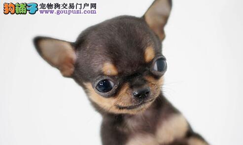 出售赛级吉娃娃、CKU认证犬舍、签协议可送货