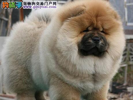 直销价格出售深圳松狮犬 建议周边地区来犬舍直接购买