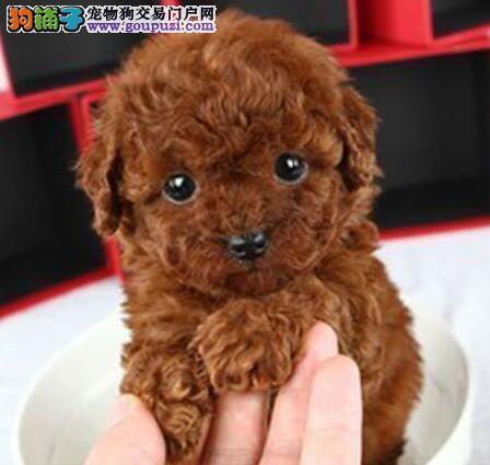 热销纯种深圳泰迪犬 已驱虫有健康保证可办血统证书