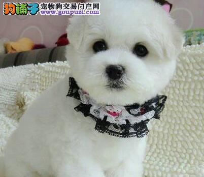出售比熊宝宝 欢迎喜爱比熊犬的朋友上青岛看狗