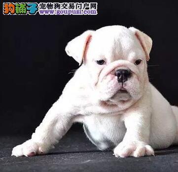 青岛常年出售纯种健康的斗牛幼犬 1~3窝任君挑选