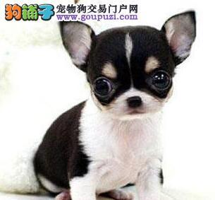 极品济南吉娃娃幼犬低价出售 身体健康 放心购买