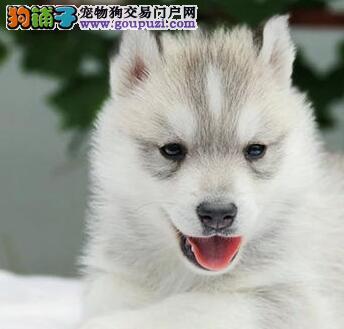 经典帅气蓝眼西伯利亚雪橇犬 哈士奇幼犬出售