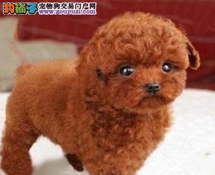 兰州专业繁殖基地出售纯血统的泰迪犬 保健康包售后