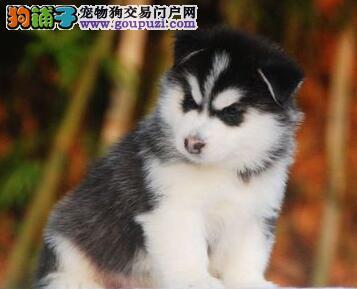 广州正规繁殖售双血统身体健康的哈士奇 疫苗驱虫齐全