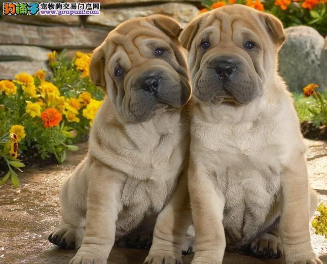 繁殖基地出售纯种的沙皮幼犬上门选购,血统纯正