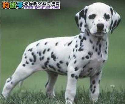 国际注册犬舍 出售极品赛级斑点狗幼犬品质优良诚信为本