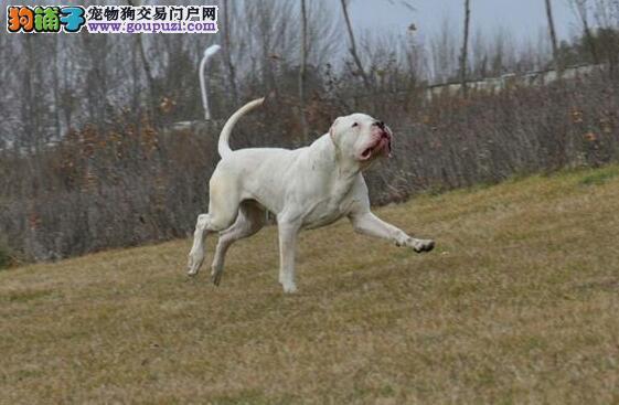 怎样喂好杜高犬 分析饲养杜高犬的几个方面5