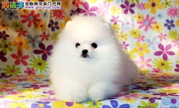 哈多利版小体球形博美幼犬 保纯保质保健康
