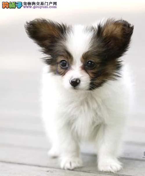 繁殖纯种蝴蝶犬 保纯保健康 购买可签协议