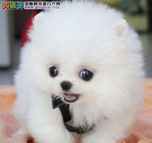 南宁养殖场直销出售博美犬 纯种哈多利版欢迎购买