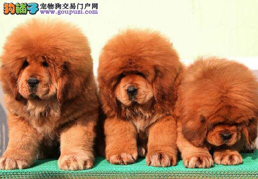 直销赛级藏獒 CKU认证犬舍 可送货上门