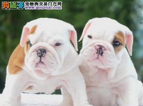 自家狗场专业繁殖出售优质成都斗牛犬 可接受预定