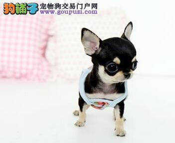 南京实体店面出售超小体吉娃娃幼犬全天24小时营业