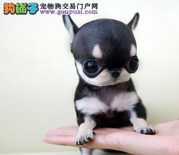 淄博养殖基地价格低廉的处理几只刚满三个月的贵宾犬