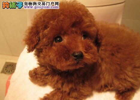 大毛量十分可爱的南京泰迪犬找新主人 建议上门选购
