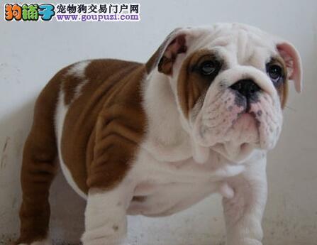 热卖英国斗牛犬宝宝 完美品相 品质第一 签订活体协议