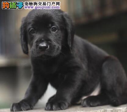 纯血统拉布拉多幼犬,品质第一价位最低,提供养护指导