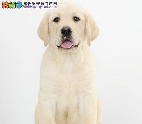 血统纯正的贵阳拉布拉多犬特价出售中 可办理血统证书