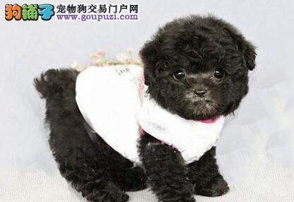 质量高品质好的大连泰迪犬找新家 选择专业 选择放心