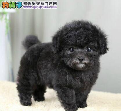 精品广州泰迪犬狗场直销 3~4个月公母均有