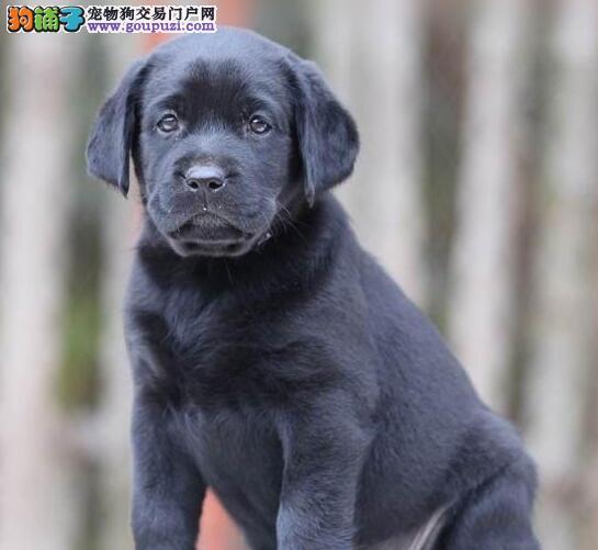 西双版纳实体店低价促销赛级拉布拉多幼犬CKU认证绝对信誉保障