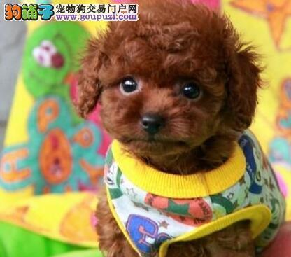 热销韩系血统福州贵宾犬 可视频看狗可签订合同书